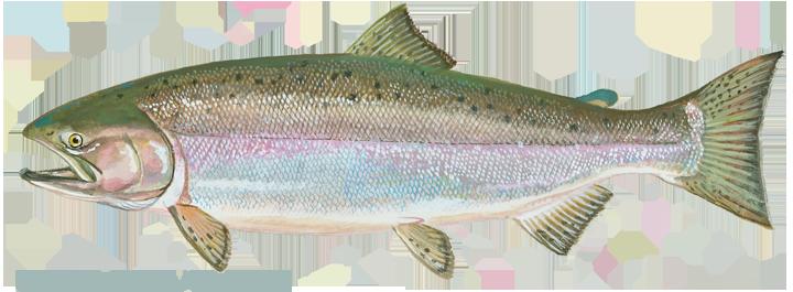 salmon_chinook
