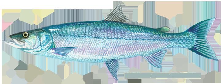 fish_inconnu_sheefish_nelma